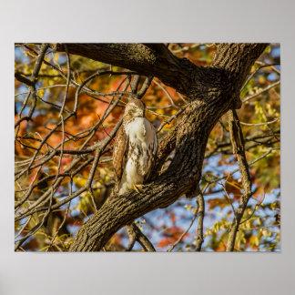 Hawk and Fall Foliage Poster