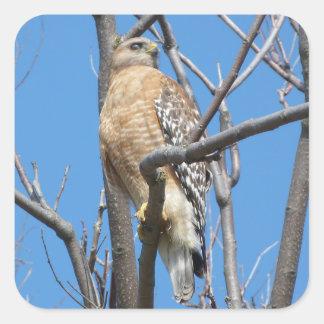 hawk, bird, prey bird, Cooper's hawk, nature Square Sticker