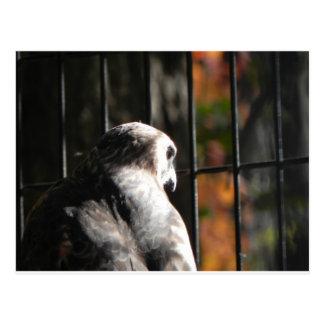 Hawk in a bird sanctuary postcard