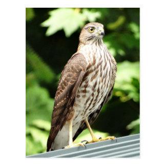 Hawk on Roof Postcard
