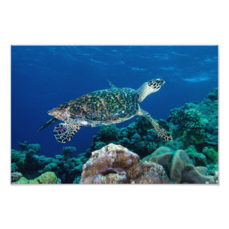 Hawksbill Sea Turtle Photo Print