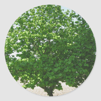 Hazel tree with green leaves round sticker