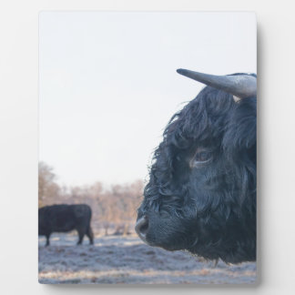 Head of black bull scottish highlander with cow display plaques