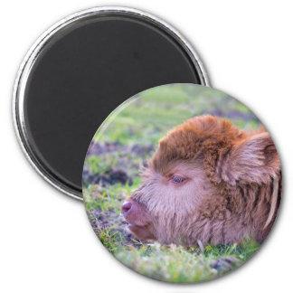 Head of brown newborn scottish highlander calf magnet