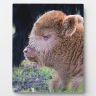 Head of Brown newborn scottish highlander calf Plaque