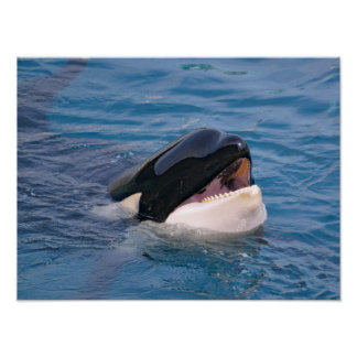 Head of killer whale poster