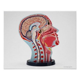 Head Section Model Poster