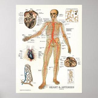 Heart and Arteries Human Anatomy Poster 18 X 24