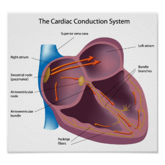 Heart conduction system Poster