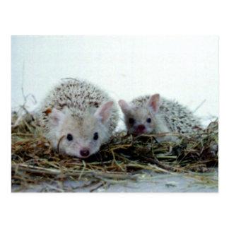 Hedgehogs as Pets Postcard