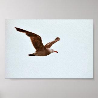 Heerman's Gull Poster