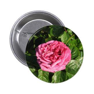 Heirloom Hybrid Tea Rose 027 Buttons
