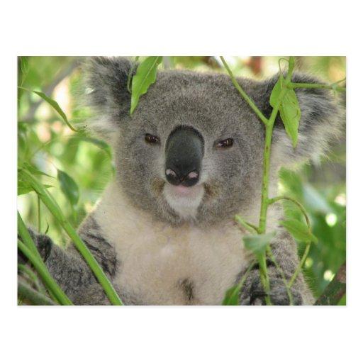 Helaine's Koala Bear Post Card