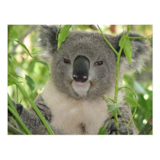 Helaine's Koala Bear Postcard