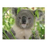 Helaine's Koala Bear Postcards