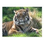 Helaine's Tiger Postcard