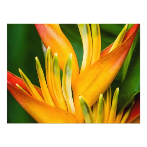Heliconia Bird of Paradise Flower Photography Photographic Print