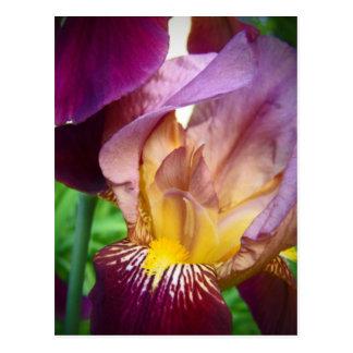 Hello Iris Postcard