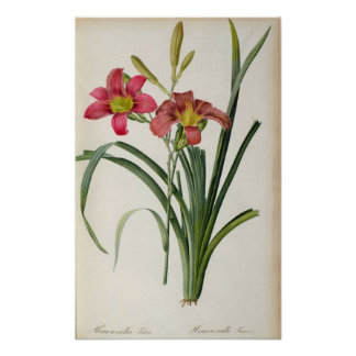 Hemerocallis fulva, from `Les Liliacees', 1805 Poster