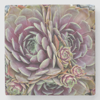 Hens and chicks cactus plant stone coaster