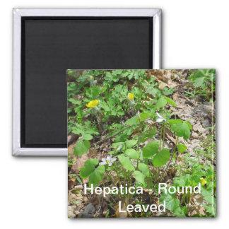 Hepatica Round Leafed Magnet