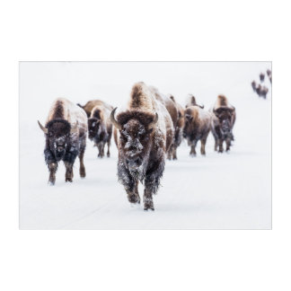 Herd of Bison, Buffalo in Snow at Yellowstone Park Acrylic Wall Art