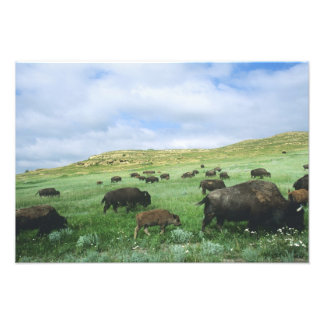 Herd of bison graze prairie grass at Theodore Photographic Print