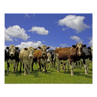 Herd of cattle and overcast sky poster