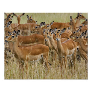 Herd of female Impala, Masai Mara, Kenya. Poster