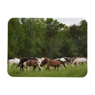 Herd of horses, Tennessee Magnet