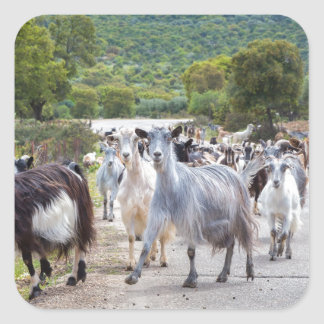 Herd of mountain goats walking on road square sticker