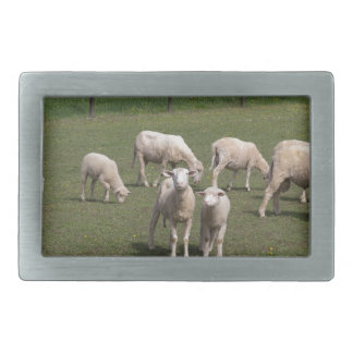Herd of sheep belt buckle