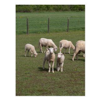 Herd of sheep postcard