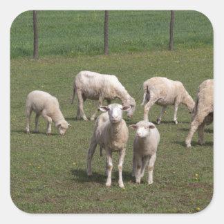 Herd of sheep square sticker