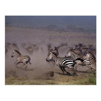 Herd running across the plain post card