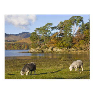 Herdwick sheep at Friars Crag, Derwentwater, 2 Postcard