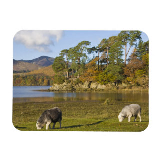 Herdwick sheep at Friars Crag, Derwentwater, 2 Flexible Magnets