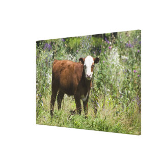 Hereford calf (Bos taurus) in prairie pasture Stretched Canvas Print