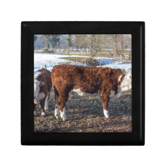 Hereford calves in winter meadow with snow gift box