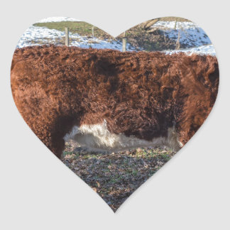 Hereford calves in winter meadow with snow heart sticker