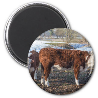 Hereford calves in winter meadow with snow magnet