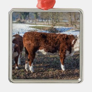 Hereford calves in winter meadow with snow metal ornament