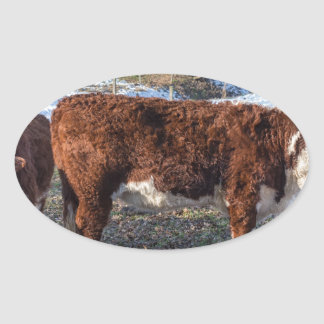 Hereford calves in winter meadow with snow oval sticker