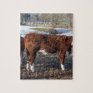 Hereford calves in winter meadow with snow puzzle
