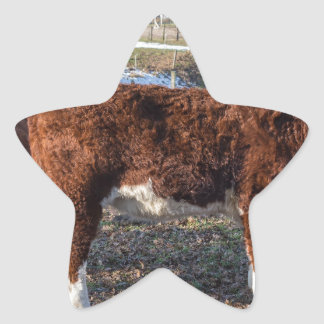 Hereford calves in winter meadow with snow star sticker