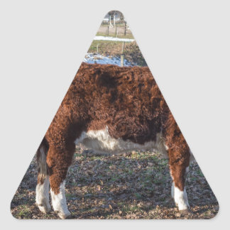 Hereford calves in winter meadow with snow triangle sticker