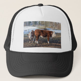 Hereford calves in winter meadow with snow trucker hat
