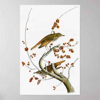 Hermit Thrush John James Audubon Birds of America Poster