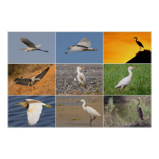 Herons Collage Poster