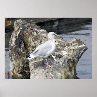 Herring Gull in Michigan's Grand River . Poster